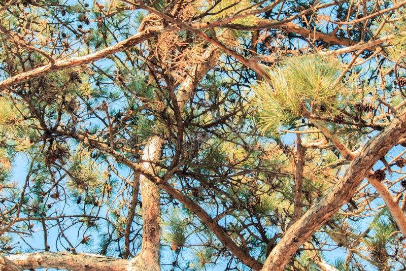 Die Oberteile dieser alten Kiefern gegen das klare blauer Himmel backgroun lizenzfreies stockbild
