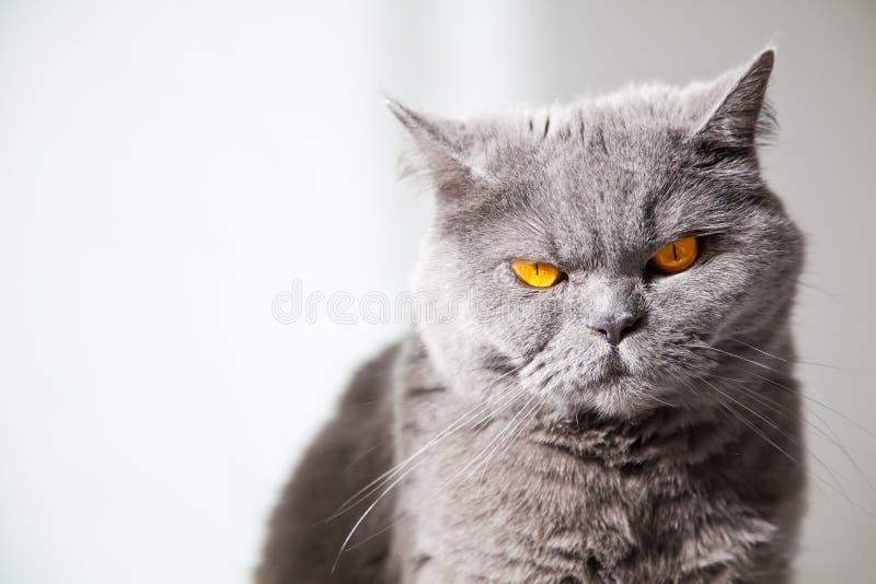 Die orange Augen der Katze stockbilder