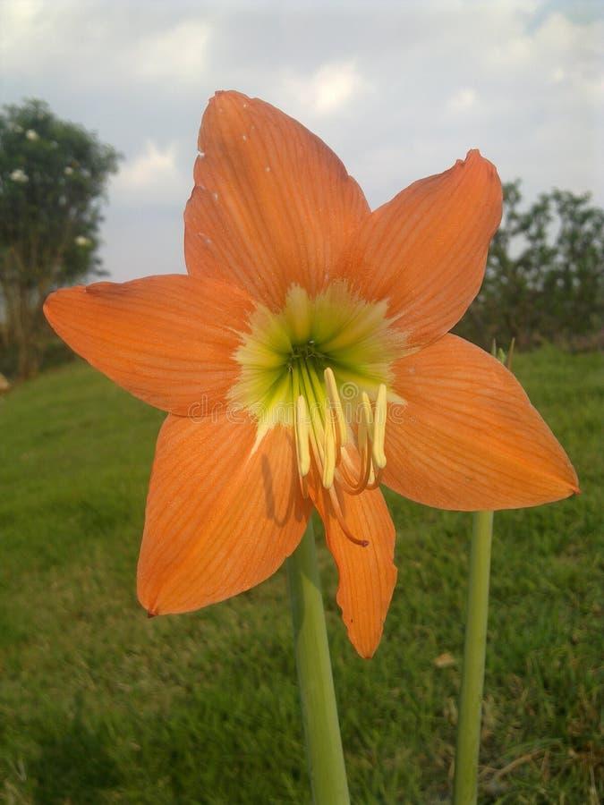 Die orange Blumenblüte stockbilder