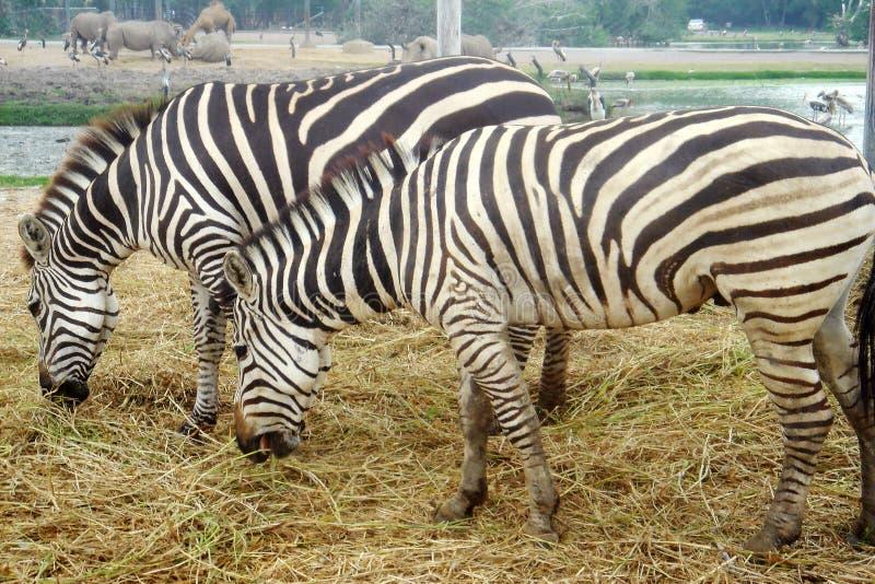 Die Paare von Zebras Equus burchells, die den Stängel, die Nashörner, das Kamel und die großen Vögel auf dem Hintergrund essen Ti stockbild