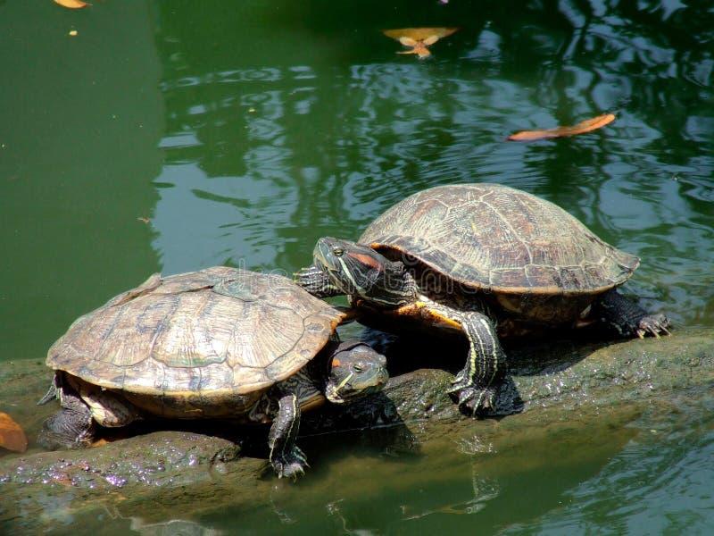 Die Paarschildkröte stockbilder