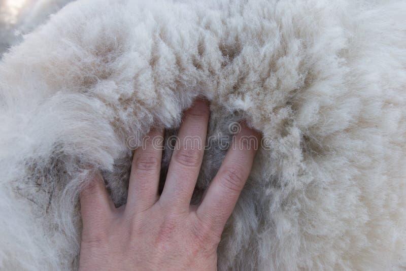 Die Palme der Frauen auf Stapel des weißen Alpakavlieses stockfotografie