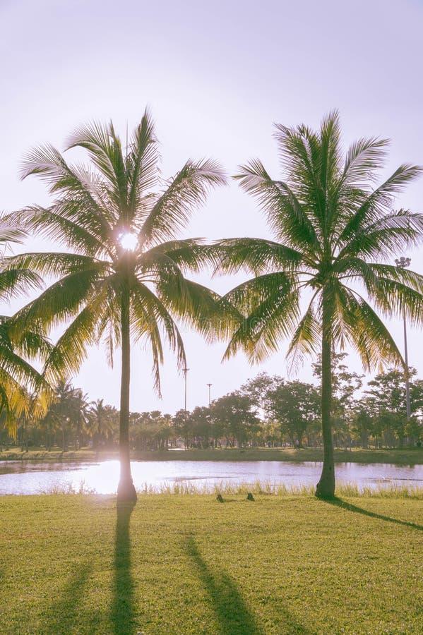 Die Palmenkokosnuß im Park auf Sommerzeit lizenzfreies stockfoto