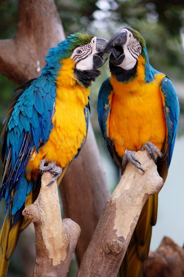 Die Papageien stockfoto