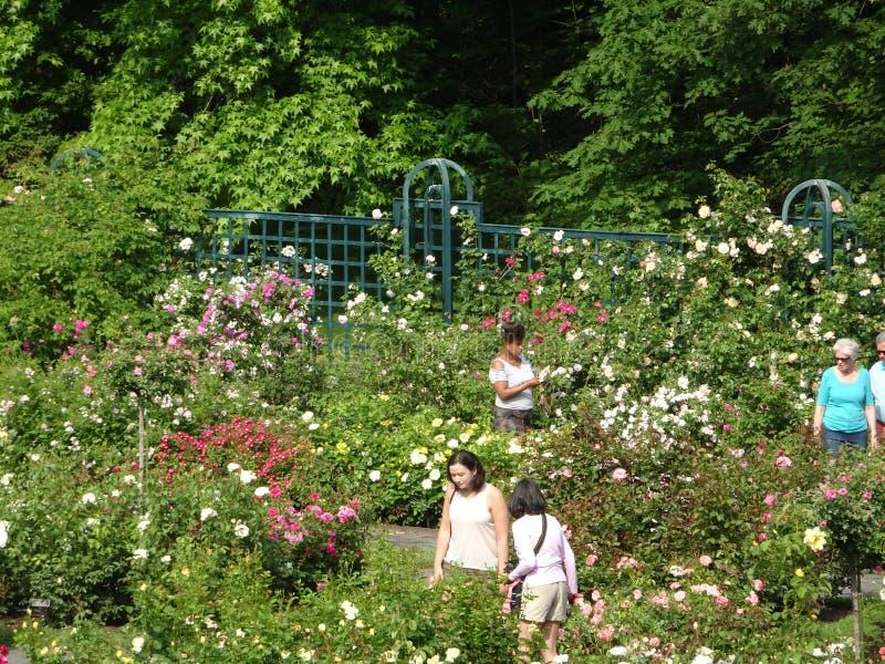 Die Peggy Rockefeller Rose Garden 52 stockfoto
