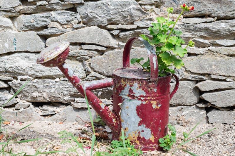 Die Pelargonienpelargonienanlage, die in rustical des roten Wassers Blechdose draußen mit Steinbacksteinmauer wächst lizenzfreie stockfotografie