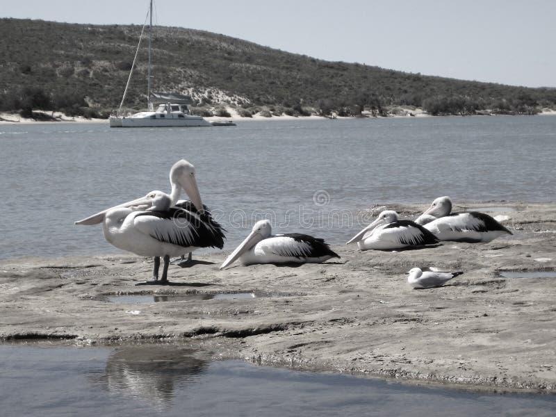 Die Pelikane, die auf den Felsen von Gantheaume stillstehen, bellen, Kalbarri lizenzfreies stockbild