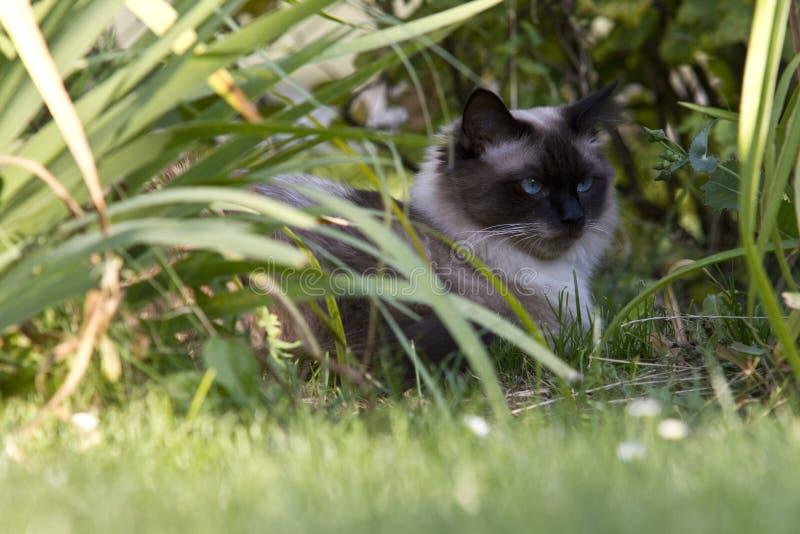 Die persische Katze ist eine der ältesten und populärsten Zuchtkatzen stockfotografie