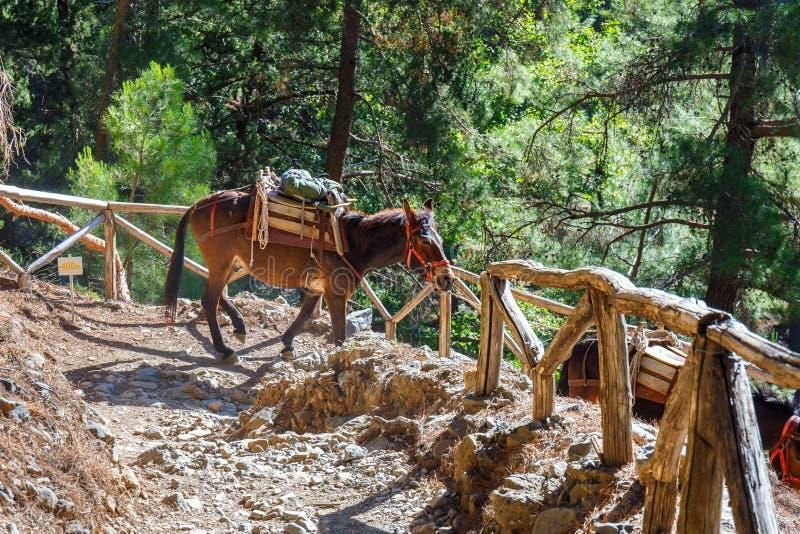 Die Pferde, die durch einen Führer geführt werden, werden benutzt, um müde Touristen in Samaria Gorge zu transportieren stockfotos