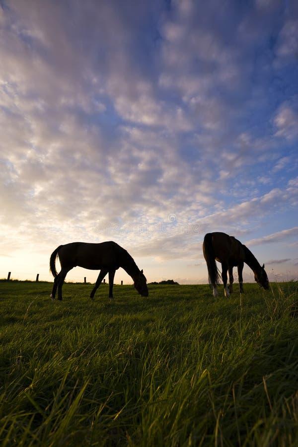 Die Pferde weiden lassen silhouettiert gegen Abendhimmel lizenzfreie stockfotos