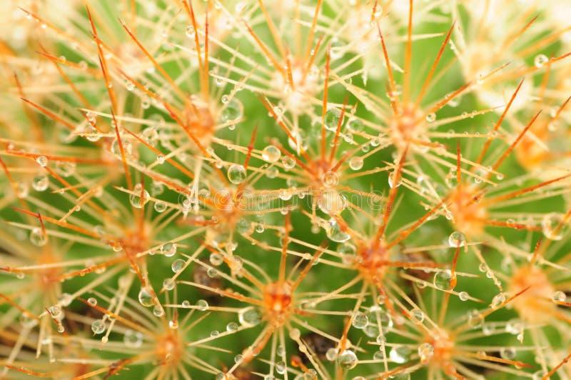 Die Prickles mit Regentropfen stockfoto