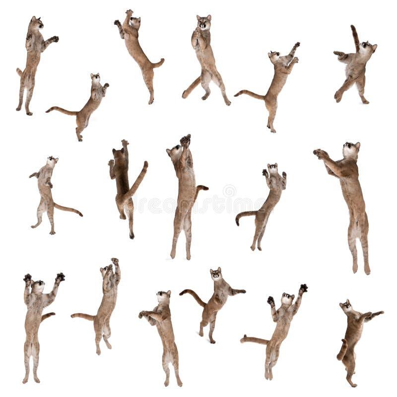 Die Pumen springend in einer Luft gegen weißen Hintergrund lizenzfreie stockfotografie