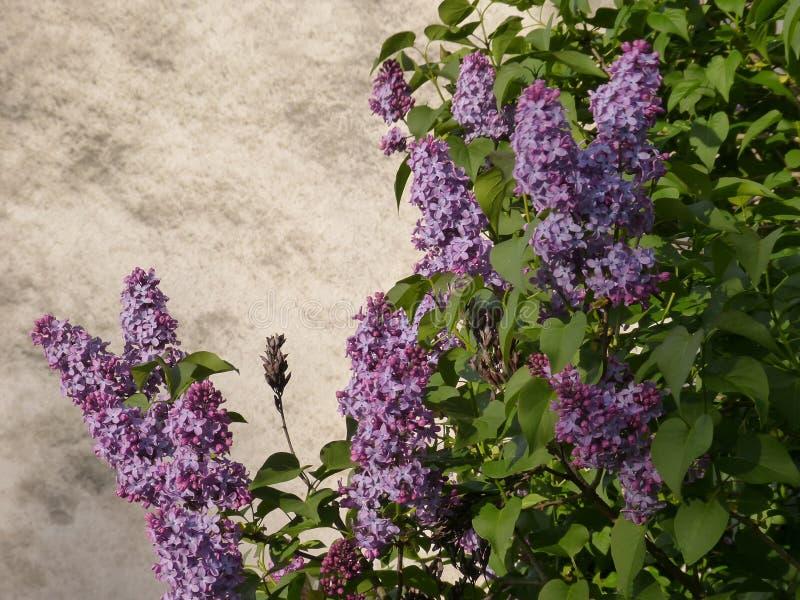 Die purpurrote Flieder stockfoto