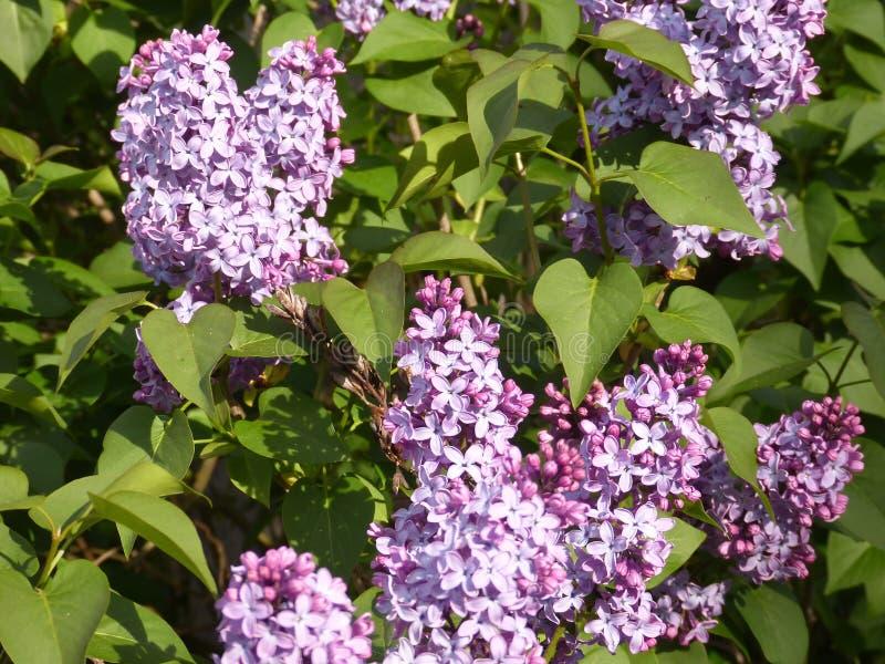 Die purpurrote Flieder lizenzfreie stockbilder