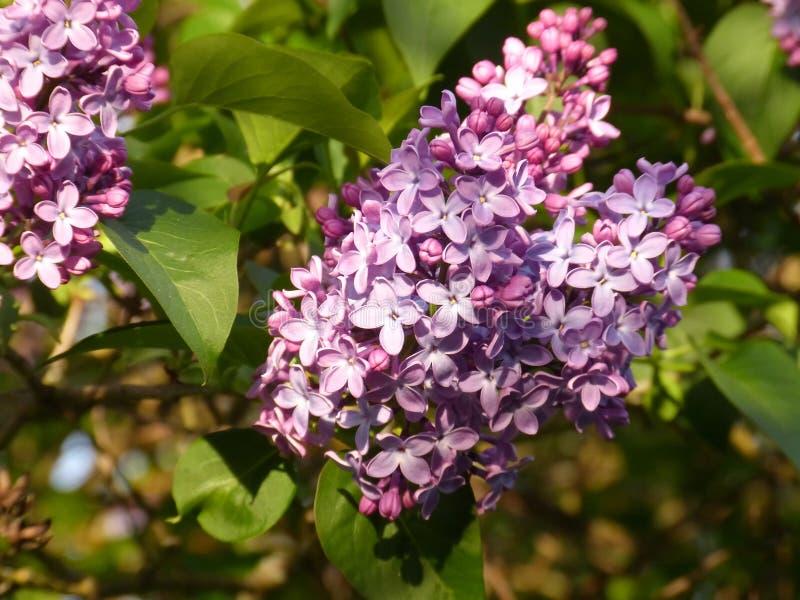 Die purpurrote Flieder lizenzfreie stockfotos