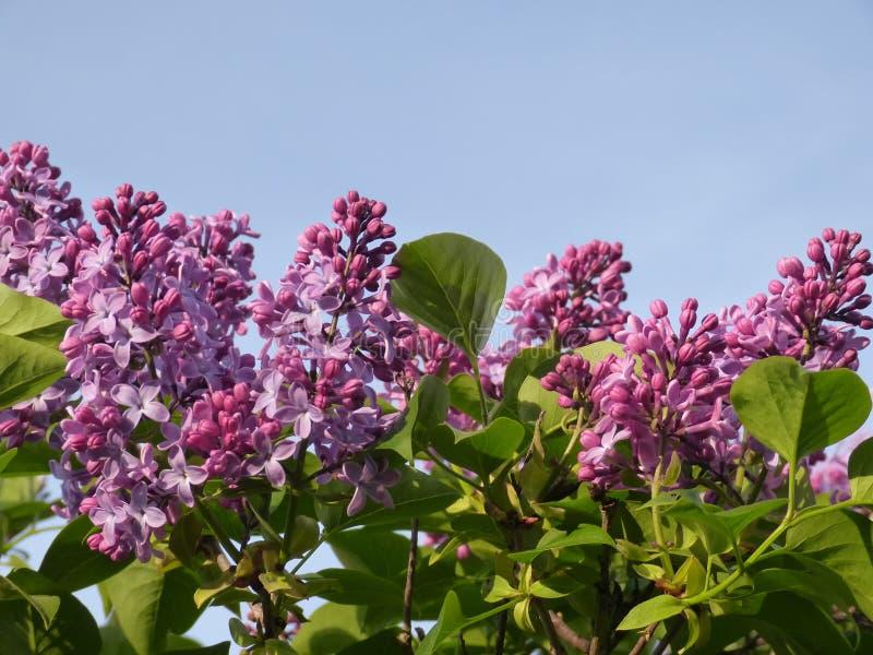 Die purpurrote Flieder lizenzfreies stockbild