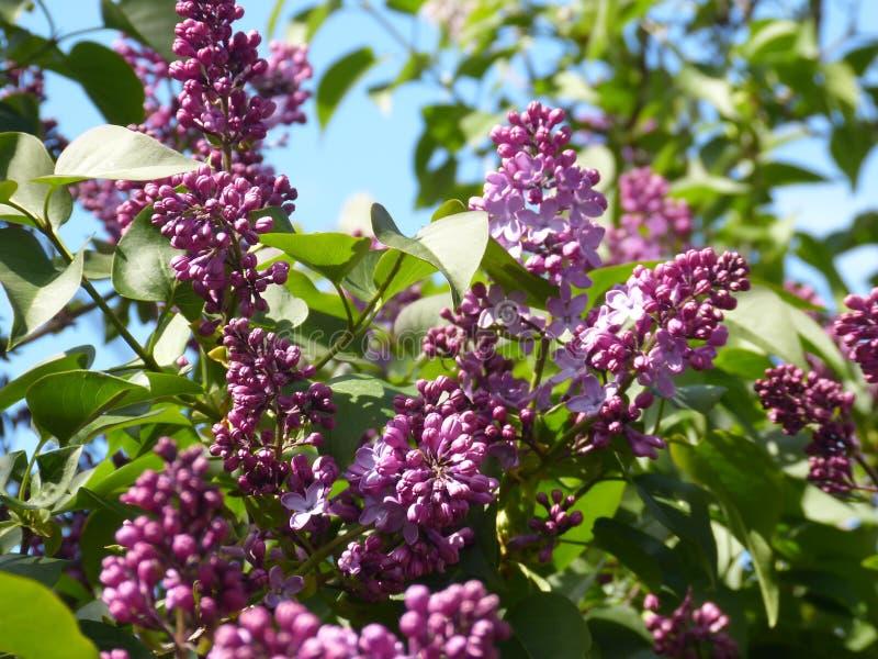 Die purpurrote Flieder lizenzfreies stockfoto