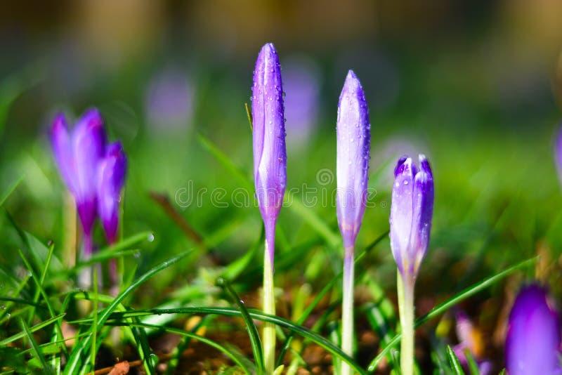 Die purpurroten Blumen am frühen Morgen, nachdem der Regen im Begriff sind sich zu öffnen