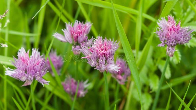 Die purpurroten Schnittlauche, die im Kraut blühen, betten Makro, selektiven Fokus stockfoto