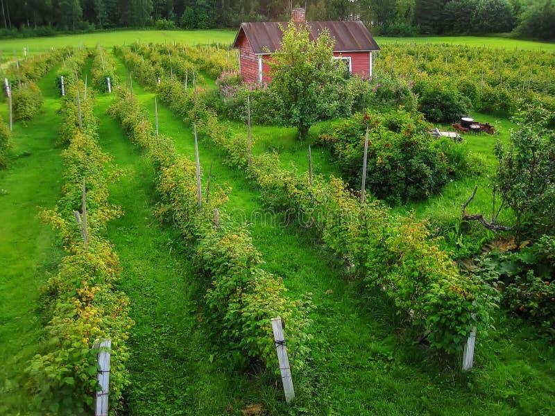 Die Ränge von Himbeerbusch im Garten auf dem Bauernhof stockfotografie