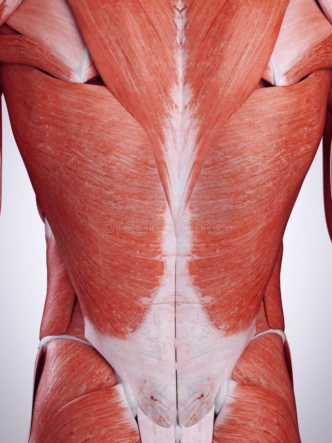 Die Rückenmuskulatur lizenzfreie abbildung