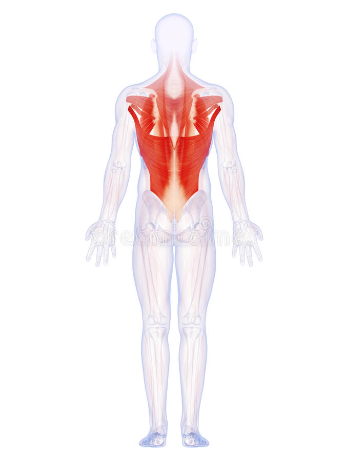 Die Rückenmuskulatur stock abbildung. Illustration von karosserie ...