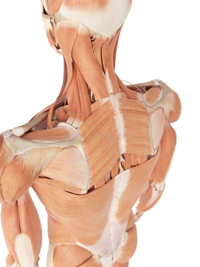 Die Rückenmuskulatur stock abbildung. Illustration von genau - 56287139