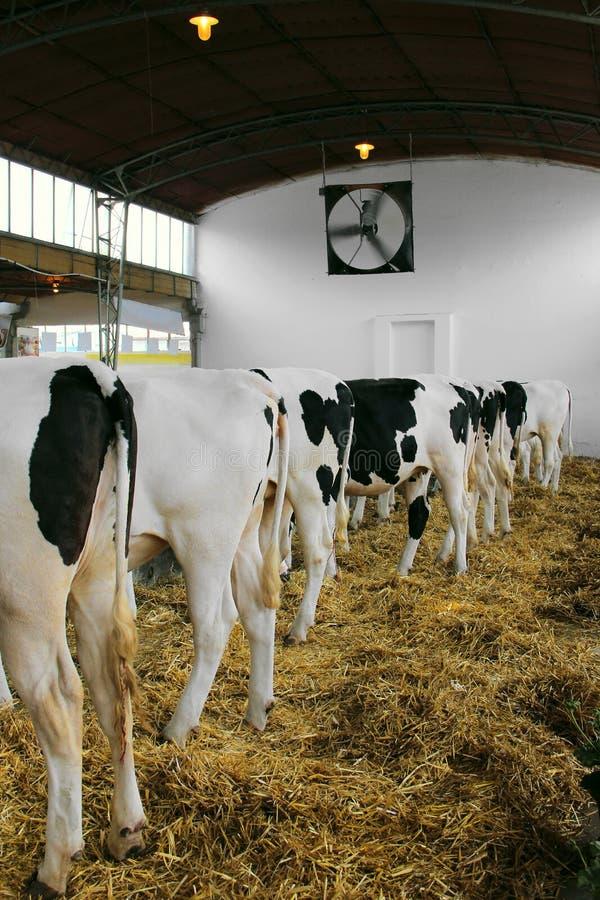 Die Rückseite der Kuh in der Scheune des Bauernhofes lizenzfreie stockbilder