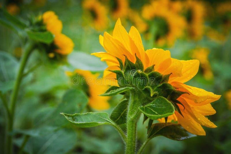 Die Rückseite des Sonnenblumennahaufnahmebildes stockfotografie