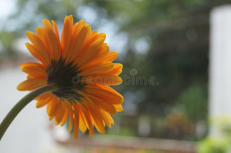 Die Rückseite eines afrikanischen Gänseblümchens stockfoto