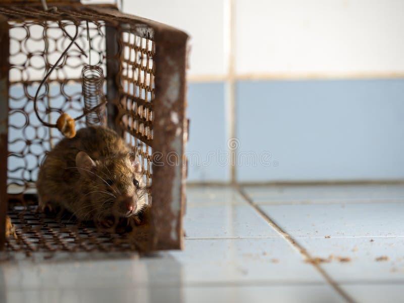 Die Ratte war in einem Käfigfangen die Ratte hat Ansteckung die Krankheit zu den Menschen wie Leptospirose, Pest Häuser und Wohnu lizenzfreies stockfoto
