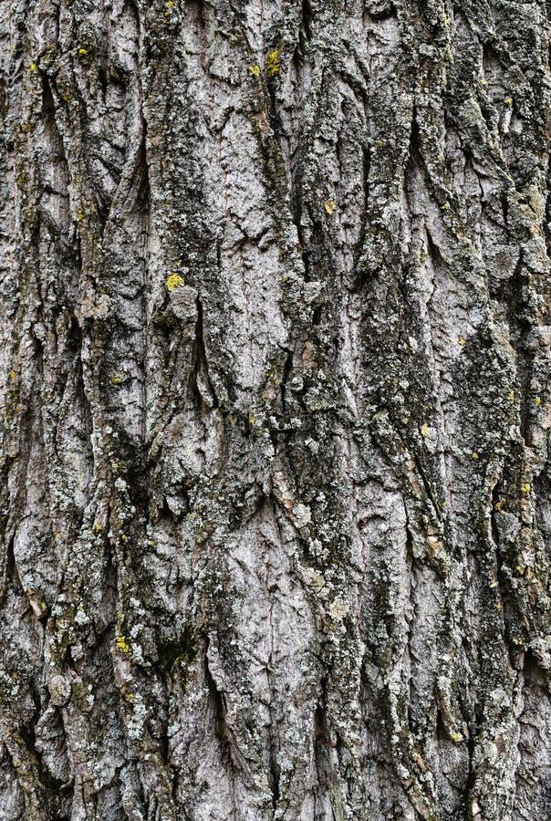 Die raue Beschaffenheit der Barke auf einem alten Baum in Holland stockfotografie