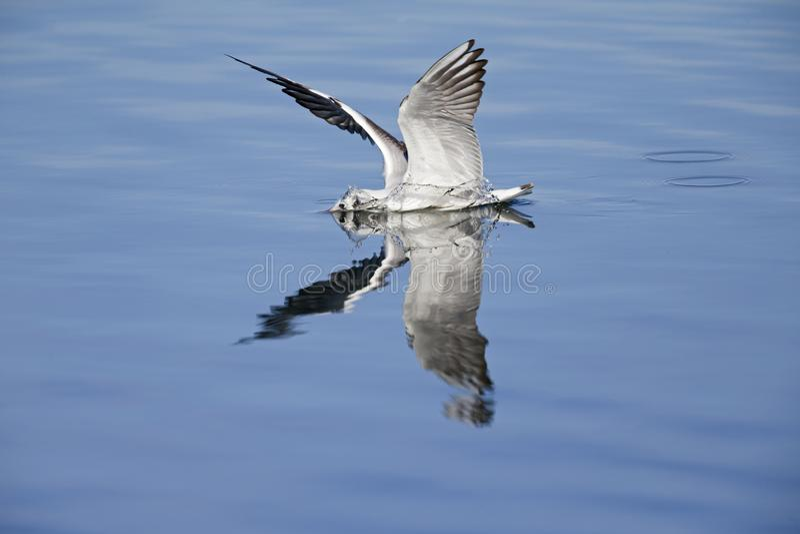 Die Reflexion eines Lachmöwe landng im Wasser mit seinen Flügeln oben im Himmel lizenzfreies stockbild