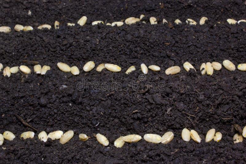 Die Reihen von Samen im Boden stockfoto