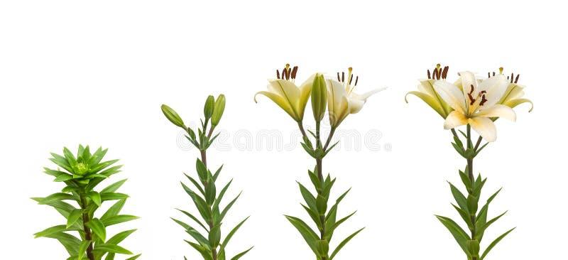 Die Reihenfolge von blühenden Orientale-Kreuzungen weiße Lilie der Blume stockfotos