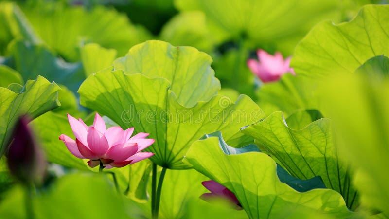 Die reizenden rosa Lotosblumen, die unter Stoff blühen, verlässt in einem Teich unter hellem Sommersonnenschein lizenzfreies stockbild