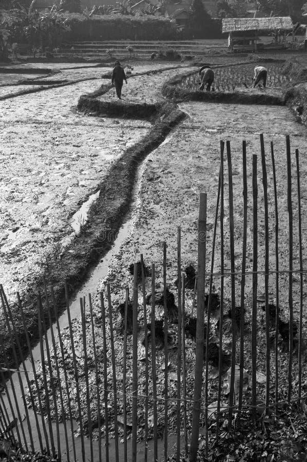 Die ricefields und die Landwirte stockfotos