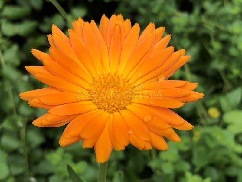 Die Ringelblume, Ruddles, gemeine Ringelblume, schottische Ringelblume, oder Calendula officinalis blühen Insel Mainau auf dem Bo stockbilder