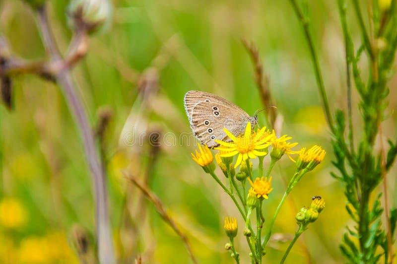 Die Ringellocke, Aphantopus-hyperantus, das auf gelber blühender wilder Blume sitzt Es ist ein Schmetterling im Familie Nymphalid stockbild