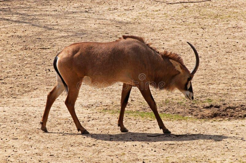 Die roan Antilope lizenzfreie stockfotografie