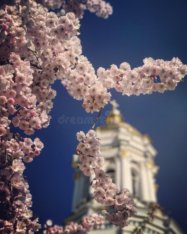 Die rosa Frühlingsblüten von Ukraine auf Ostersonntag lizenzfreie stockfotografie