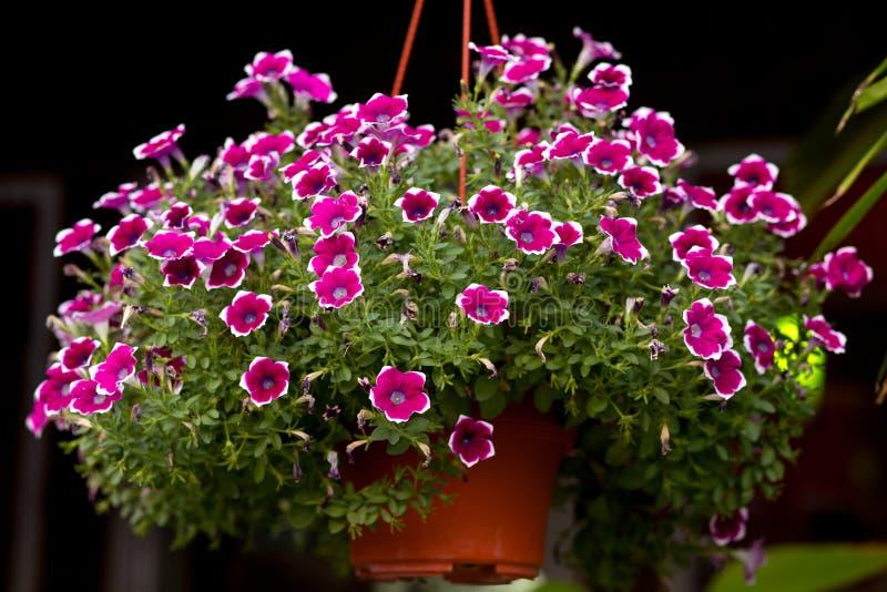 Die rosa kleine Blume in hängendem Blumentopf lizenzfreie stockbilder