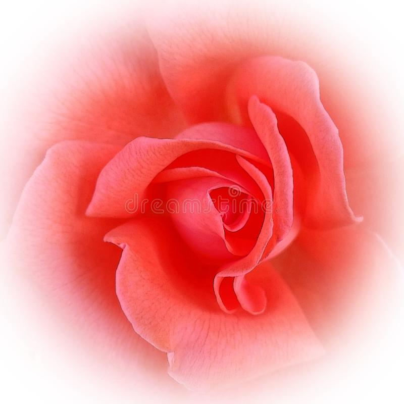 Die rosa korallenrote Rose stockbild