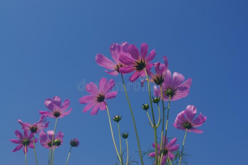 Die rosa Kosmosblumen blühen in voller Blüte und konkurrieren mit Himmel lizenzfreie stockbilder