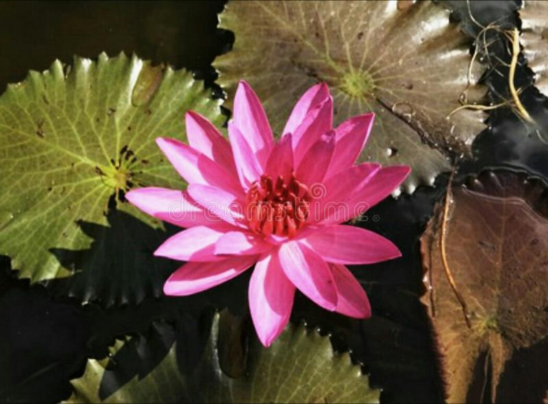 Die rosa Seerose stockfotos