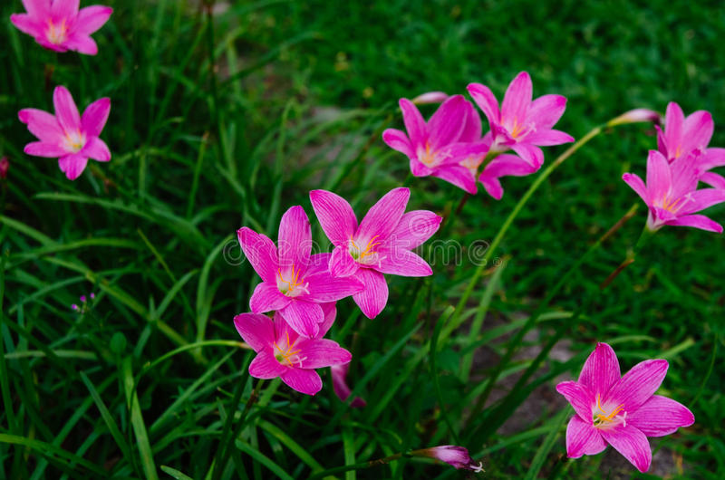 Die Rosablumen stockfotos