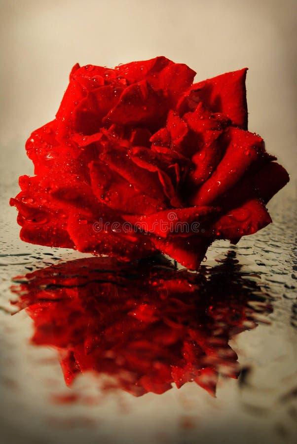 Die Rose wird im Spiegel reflektiert stockbilder