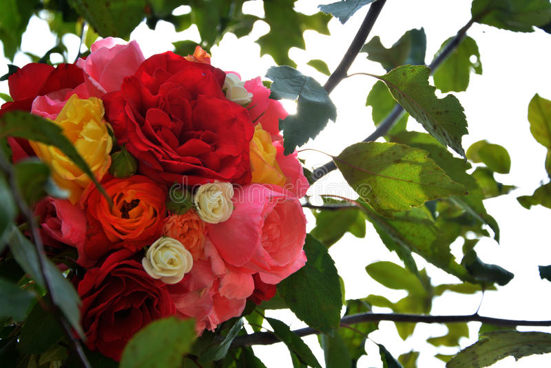 Die Rosen stockfoto