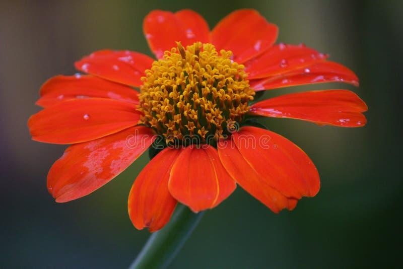 Die rote Blume lizenzfreie stockfotografie