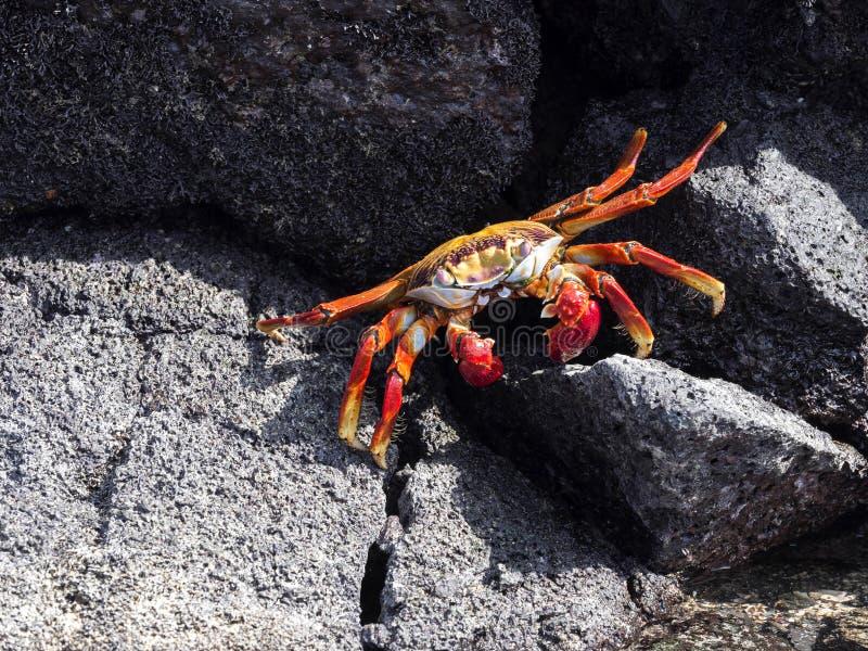 Die rote Felsenkrabbe, Grapsus-grapsus, auf Lavaschluchten von Isabela Island, Galapagos, Ecuador stockbilder